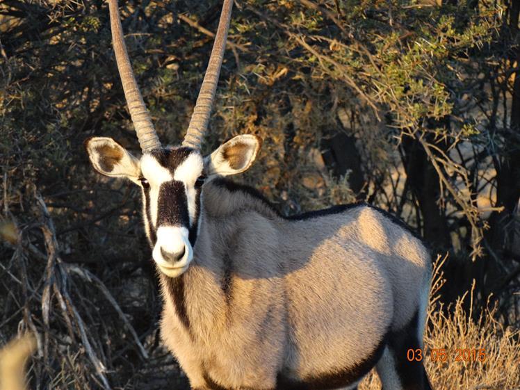 Oryx spotted in Safari