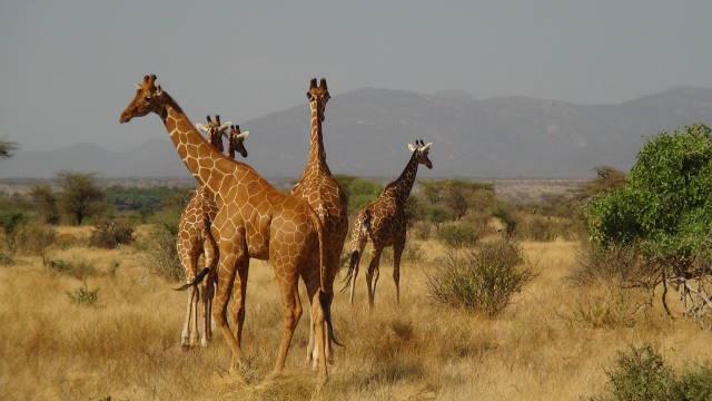 Reticulated Giraffe in Buffalo Springs Reserve, Kenya