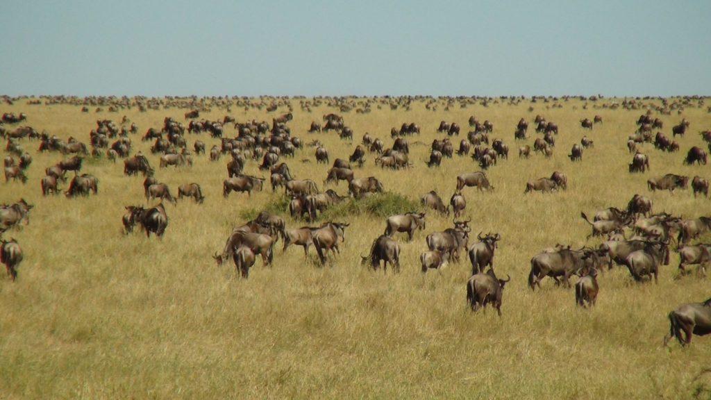 Wildebeest Migration on the Masai Mara