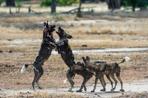 Wildlife conservation for the African Painted Dogs seen here playing together.