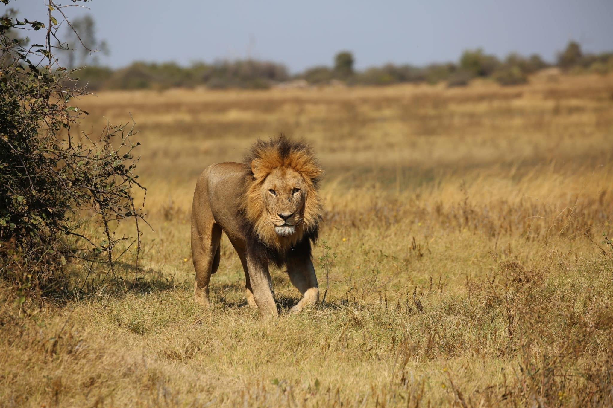 Male Lion In Okavango Delta