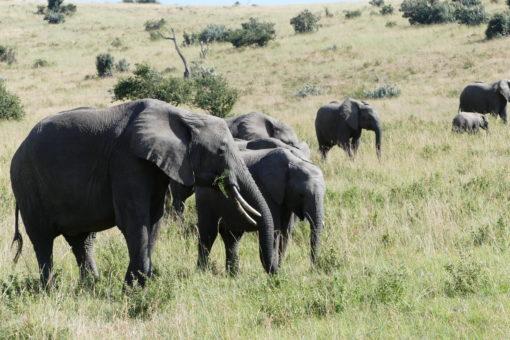 KENYA 1 . Elephant in Masai Mara