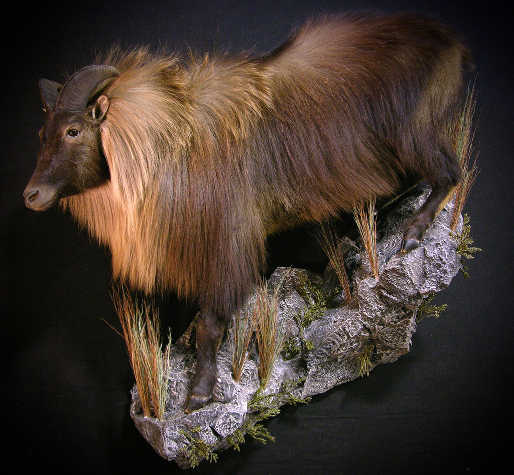 Hunting Down Under New Zealand Stag Shoulder Mount Amp Tahr Full Mount Taxidermy Hunting