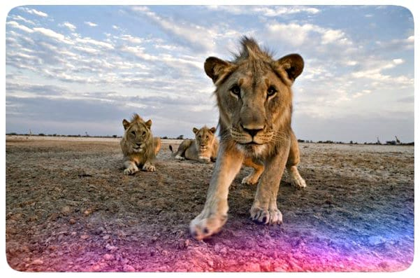 Africa's Big 5 – All you want to know about the powerful and majestic Lion!