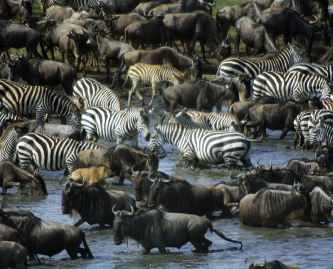 Image: Zebras and wildebeests migrate across the Serengeti in late August