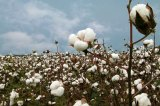Genetically Modified Cotton a False Promise for Africa