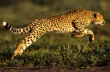 A Primary School Student Attacked By A Cheetah In South Africa