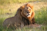 Darted Lion Wakes Up in Zimbabwe As Huge Crowd Gathers