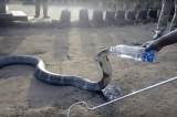 Thirsty Snake King Cobra Sips From Water Bottle Amid Debilitating Droughts: Watch Video