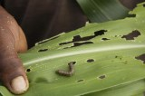 Fears for food security and the future of farming families, as Fall Armyworm spreads to Asia