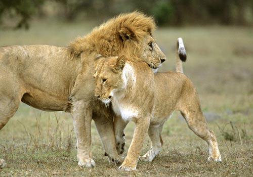 Lions greeting image