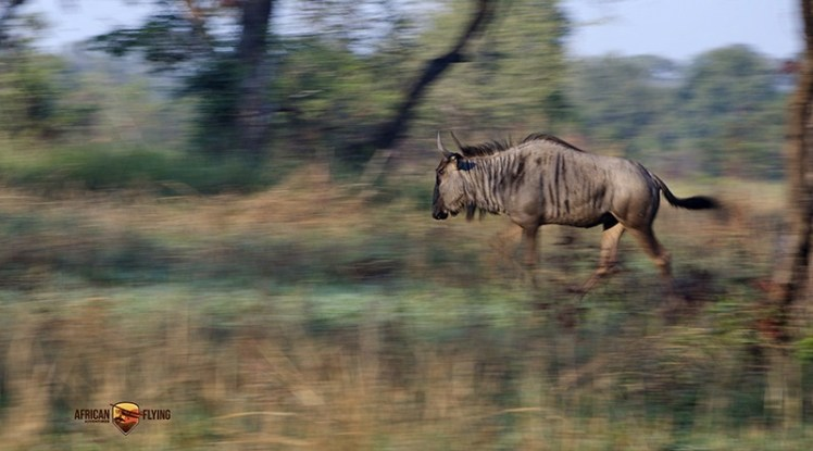 low-light conditions - Panning shot of male blue wildebeest