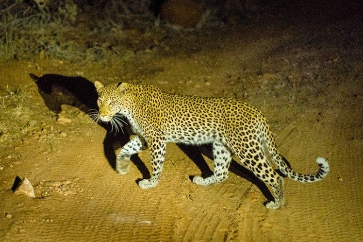 The leopard crossing the road right during the evening safari right in front of me. What a moment!