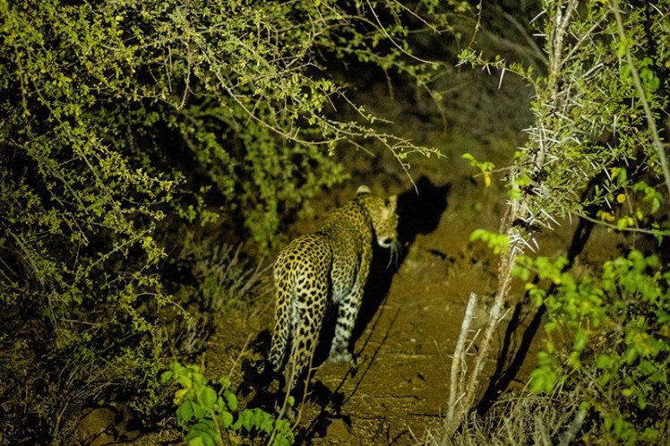 A last glimpse before she dissapears into the bush. It has been a short but exhilarating evening safari