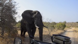 Big bull ellie in front of the Landy