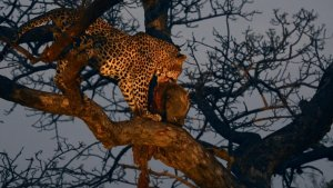 Leopard feeding on warthog kill
