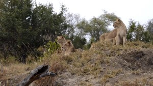 Lions sitting on termite mound