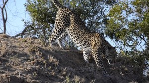 Leopar walking down termite mound