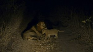 Lioncubs interact with male   Night