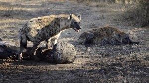 Hyena feeding of ellie foot