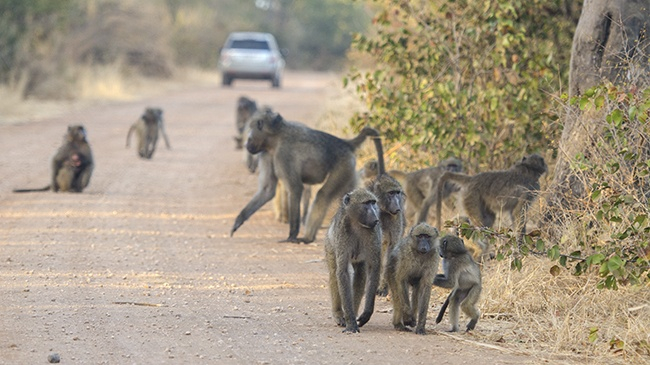 Een troep bavianen maakt gebruik van de weg in Kruger park
