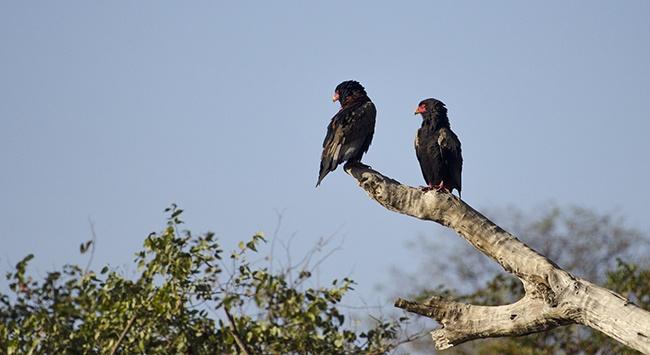Een Bateleur paartje warmt zich op in de ochtendzon in Krugerpark