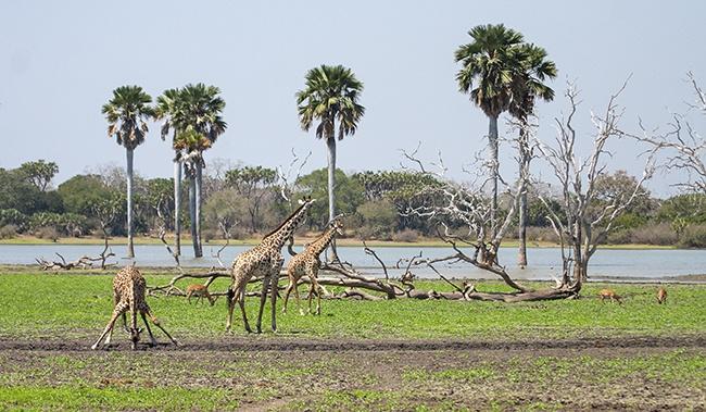 Water does attract wildlife like giraffe and impala