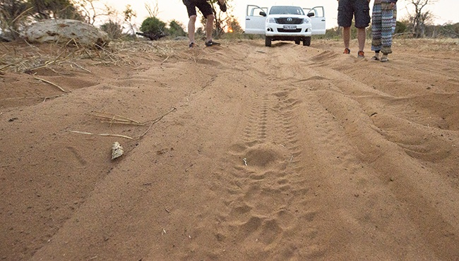 Checking out fresh male lion tracks on the road during a morning game drive