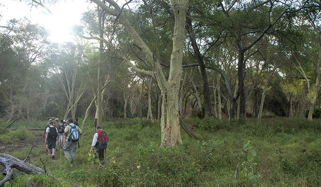 The beauty of walking through a Fever tree forest