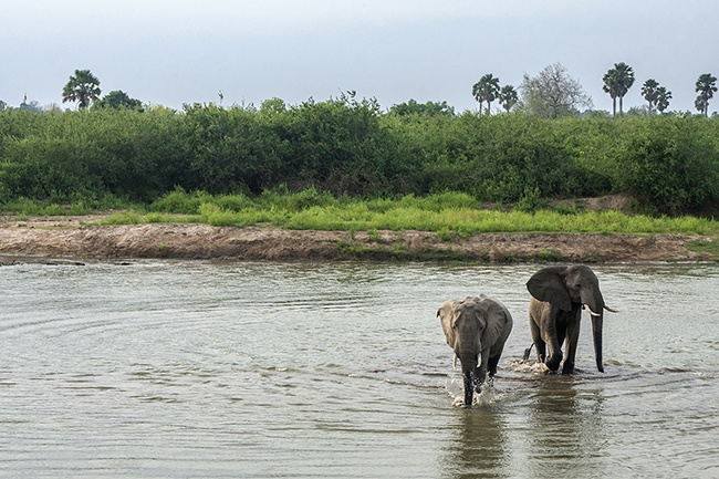 Watching African Elephant cross the river
