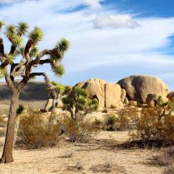 Joshua Tree National Park where you can admire the Wildflowers