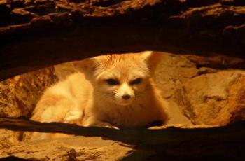 Mammals desert: Fennec of Algerian Sahara