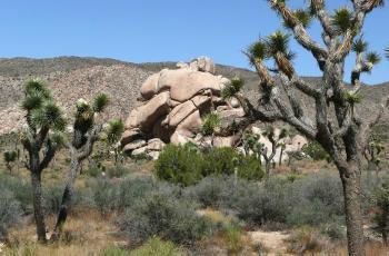 Joshua tree of national park