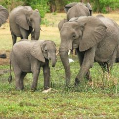 Elephants in Botswana wildlife