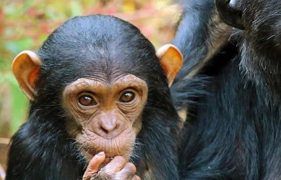 Tanzania Chimp Safaris