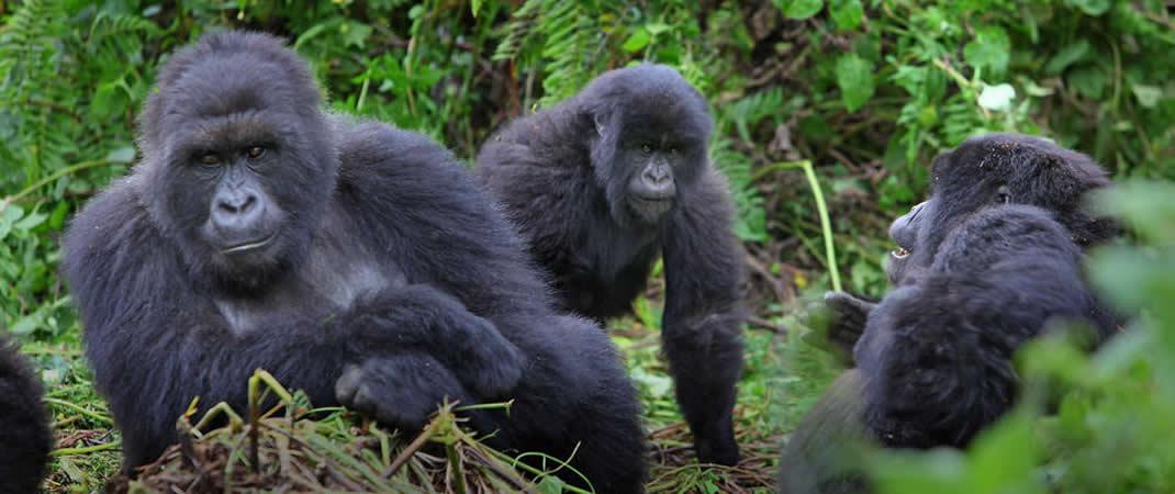 Rwanda Gorilla mountain tours