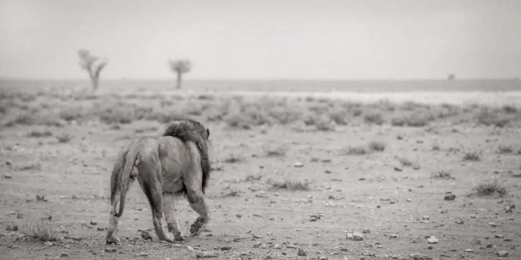 Lion Photograph in Africa