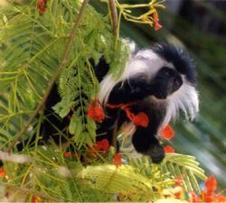 "Mi propaganda para mi primate favorito: ""abraza hoy a un colobo"""