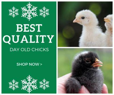 Best Quality Day Old Chicks