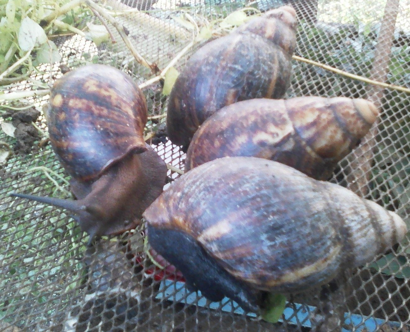 african giant snails and snail farming 2nd edition afrimash