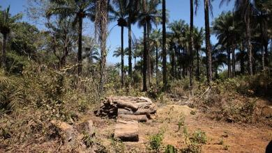 Photo of Wild palm oil from Guinea Bissau