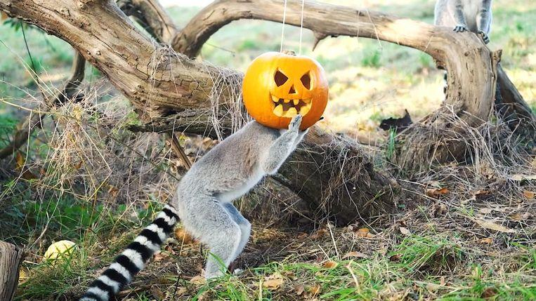 Photo of Ring-tailed lemurs celebrating Halloween by putting their heads in pumpkin