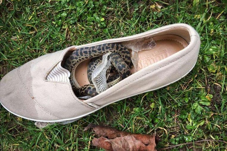 Snake travels 15,000km in a shoe from Australia to Scotland