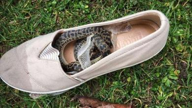 Photo of Snake travels 15,000km in a shoe from Australia to Scotland