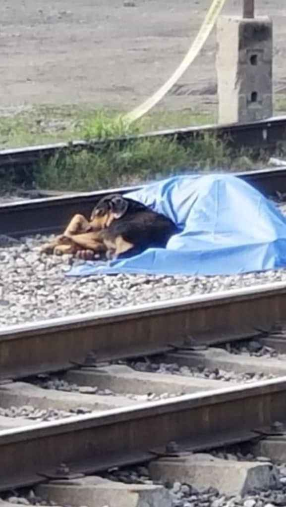 Faithful: dog refuses to leave his dead owner's body