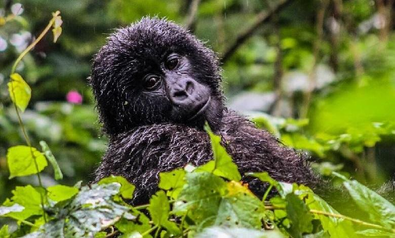 "Photo of More mountain gorillas in Congo and Uganda: ""save endangered species"""