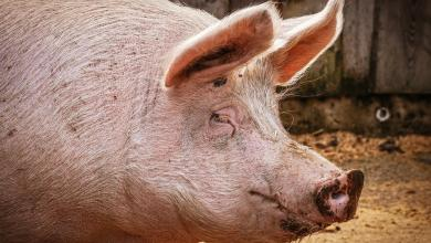 Photo of Missing Polish farmer probably eaten by his own pigs