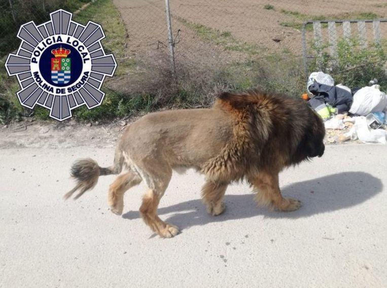 Free-roaming lion in Spain turns out to be a dog