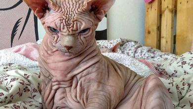 "Photo of ""He doesn't hurt a fly"": Extremely wrinkly and 'cranky' cat"