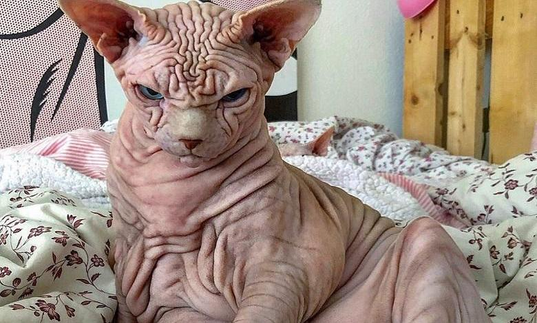 """Photo of """"He doesn't hurt a fly"""": Extremely wrinkly and 'cranky' cat"""